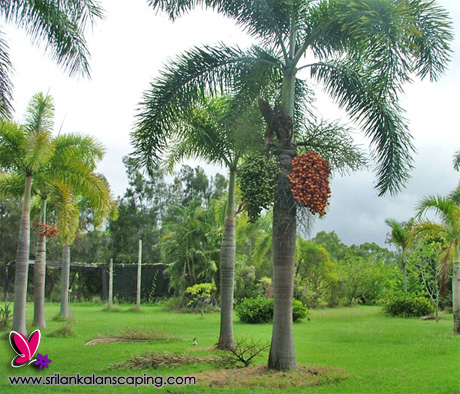 Srilanka palm tree foxtail palm landscaping sri lanka for Sri lankan landscaping plants